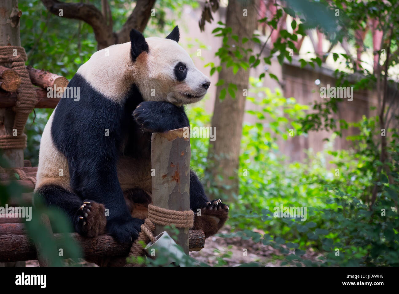 Giant panda sitting on wood and looking far ahead, Chengdu, Sichuan province, China - Stock Image