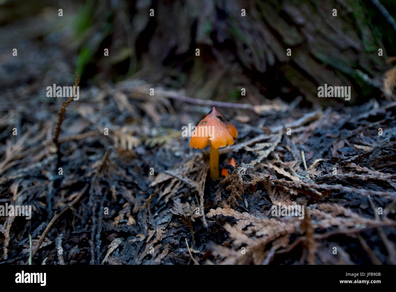 Small, orange, mushroom on the forest floor on Norway's southern coast, near Larvik. - Stock Image