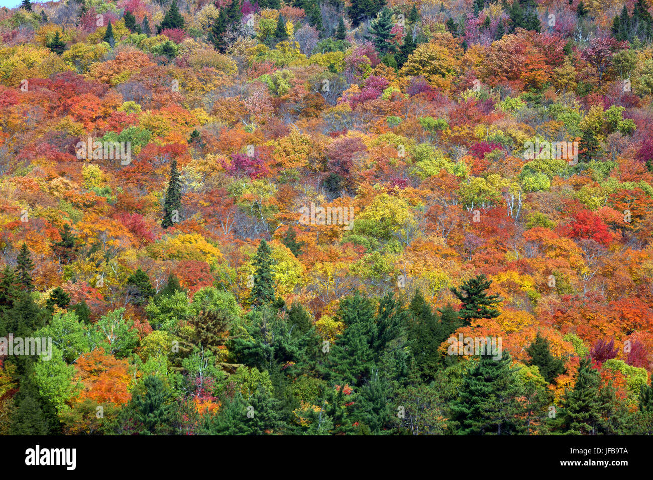 Canadian fall foliage - Stock Image