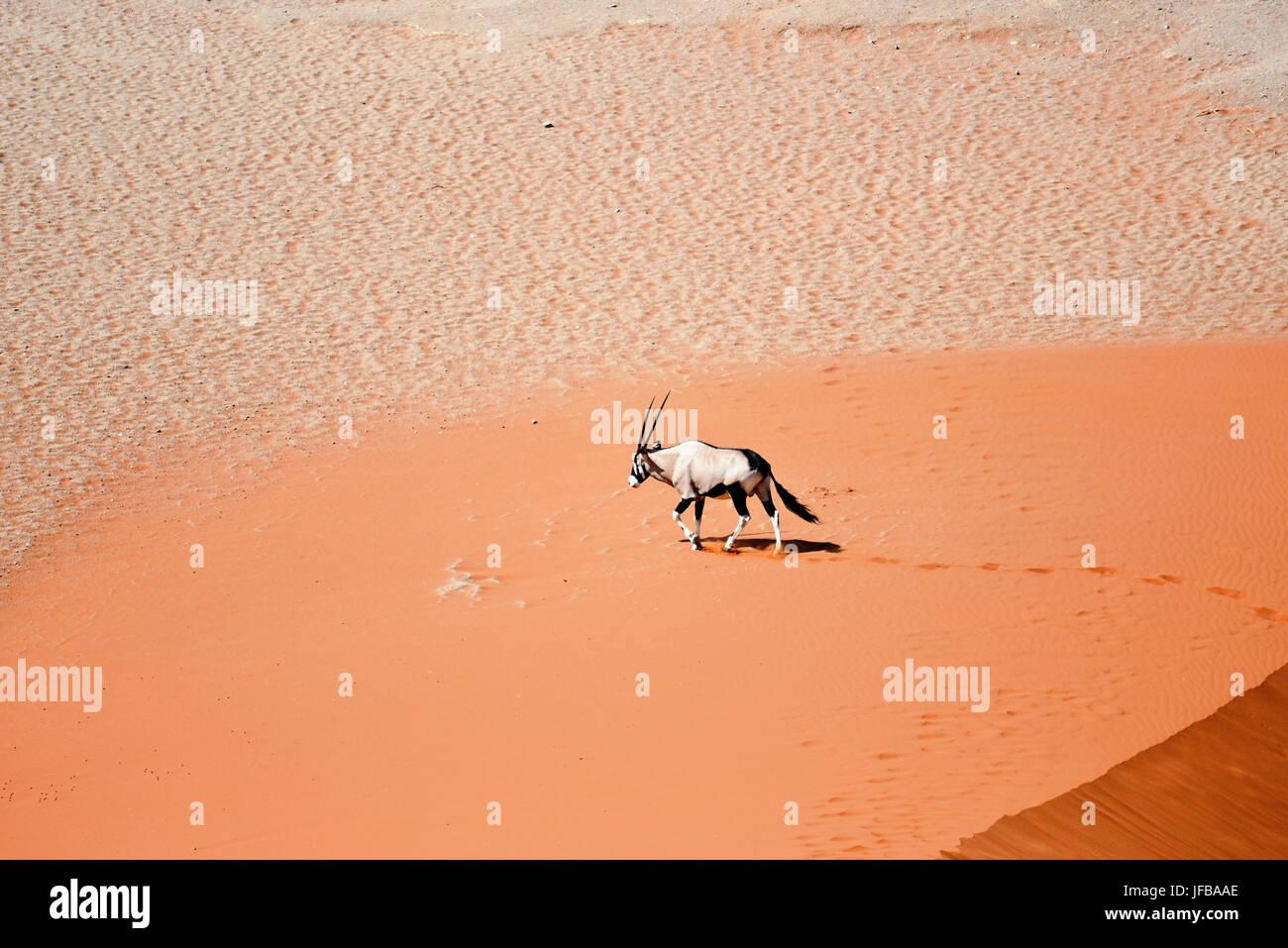 oryx on sand Stock Photo