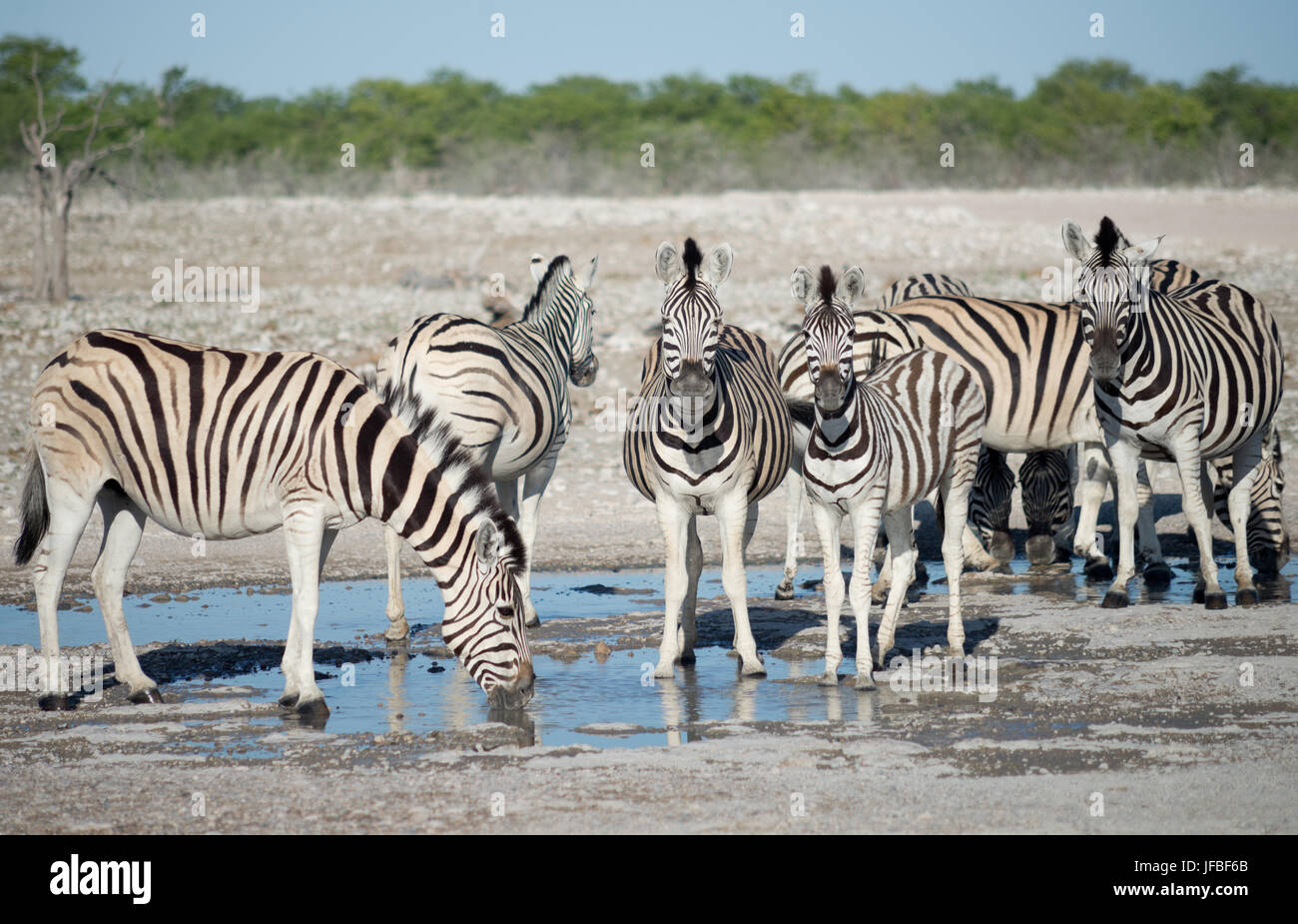 zebras at a watering hole - Stock Image