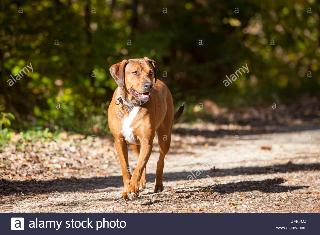 A Rhodesian Ridgeback and American Bulldog mix visits the C&O Canal towpath in Maryland. - Stock Image