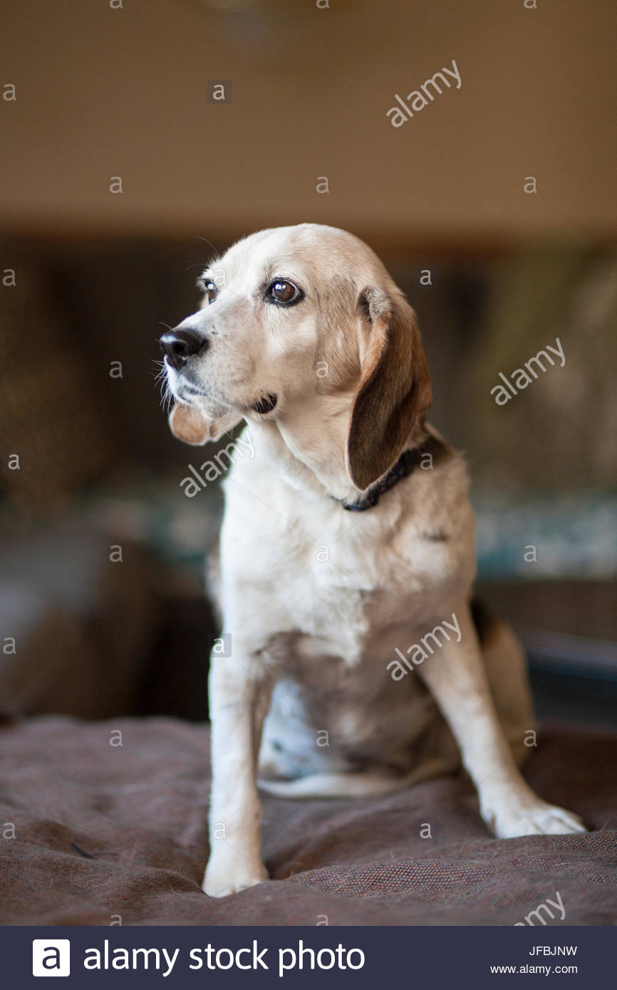 A rescued senior beagle at her foster home in Virginia. - Stock Image