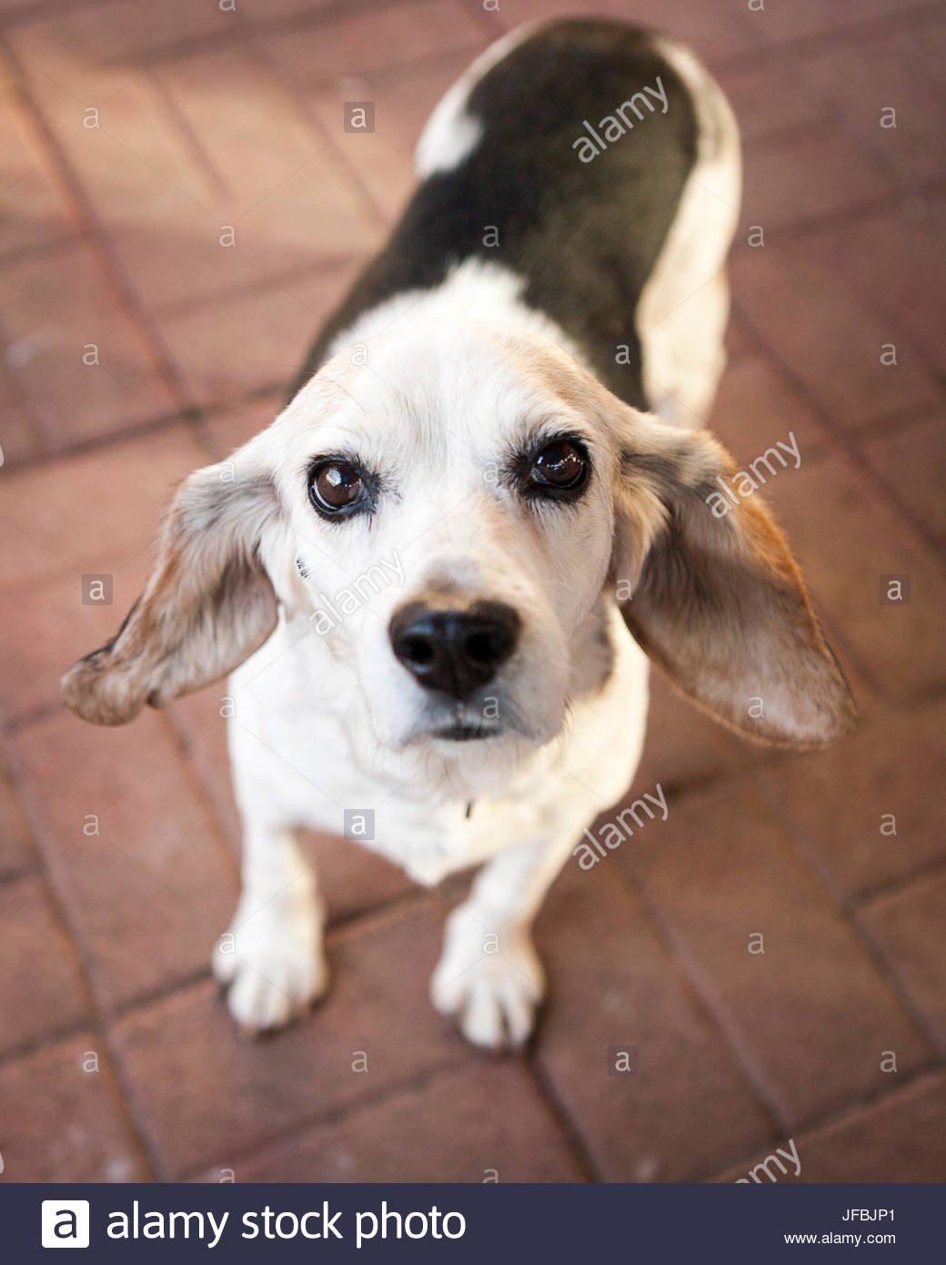 A rescued senior beagle looks at the camera at her foster home in Virginia. - Stock Image