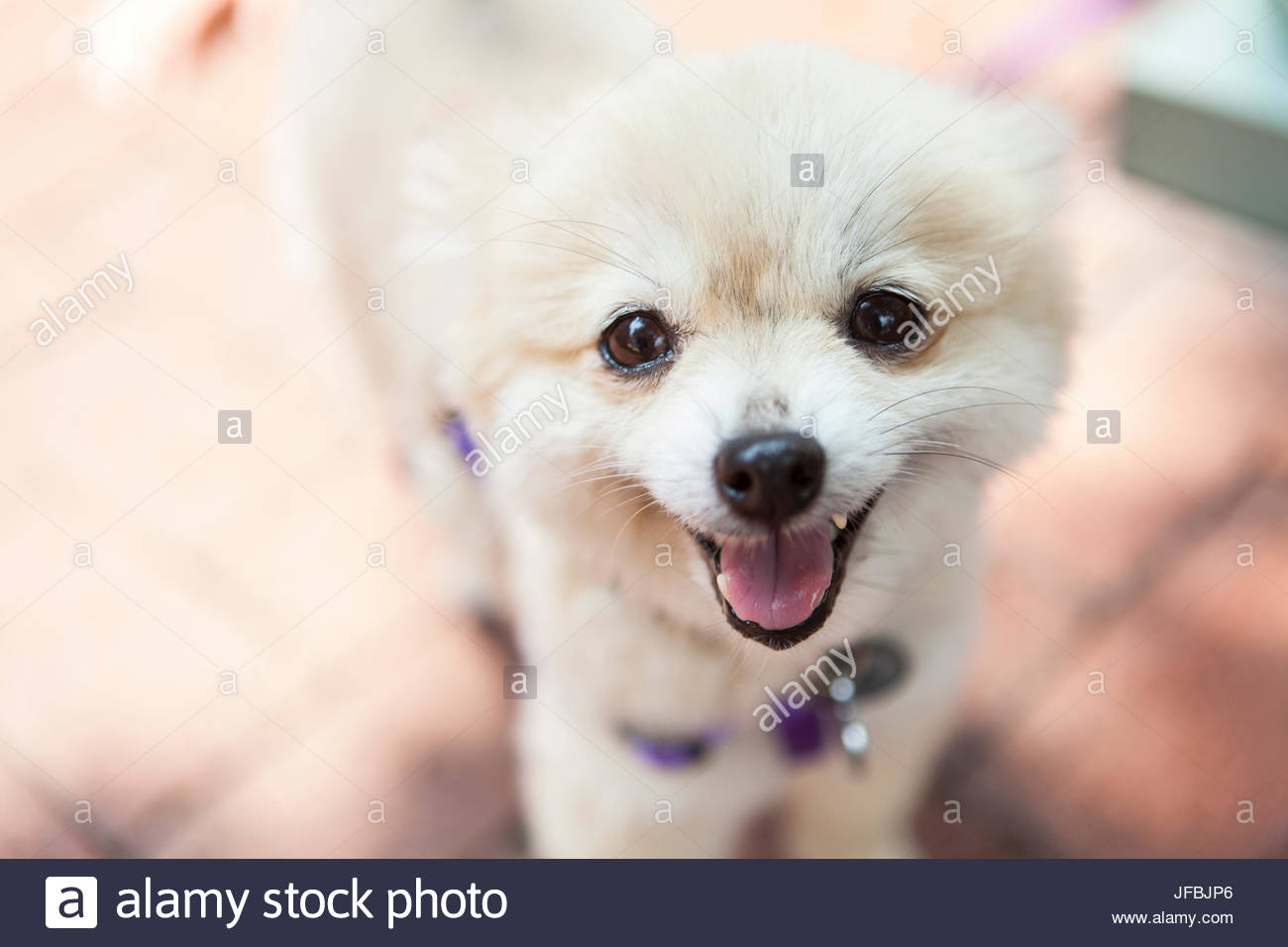A rescued Pomeranian smiles at the camera at an adoption event in Virginia. - Stock Image