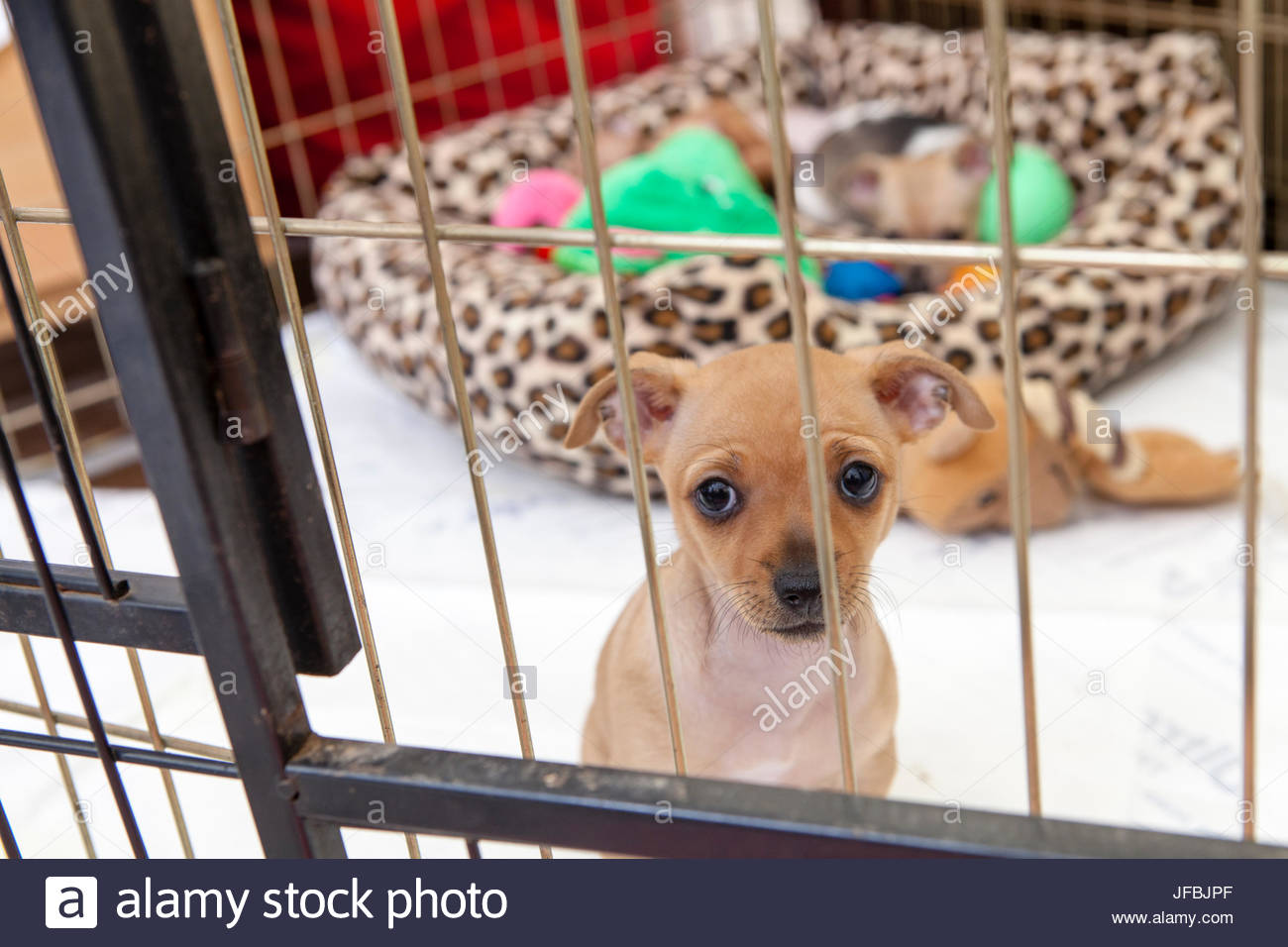 A Chihuahua puppy looks through the bars of his crate at his foster home in Virginia. - Stock Image