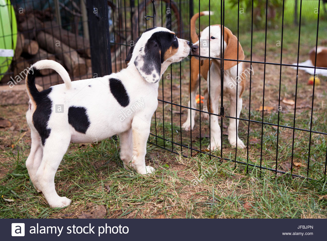Adoptable hound puppies play in the backyard of their foster family as they await their forever homes. - Stock Image