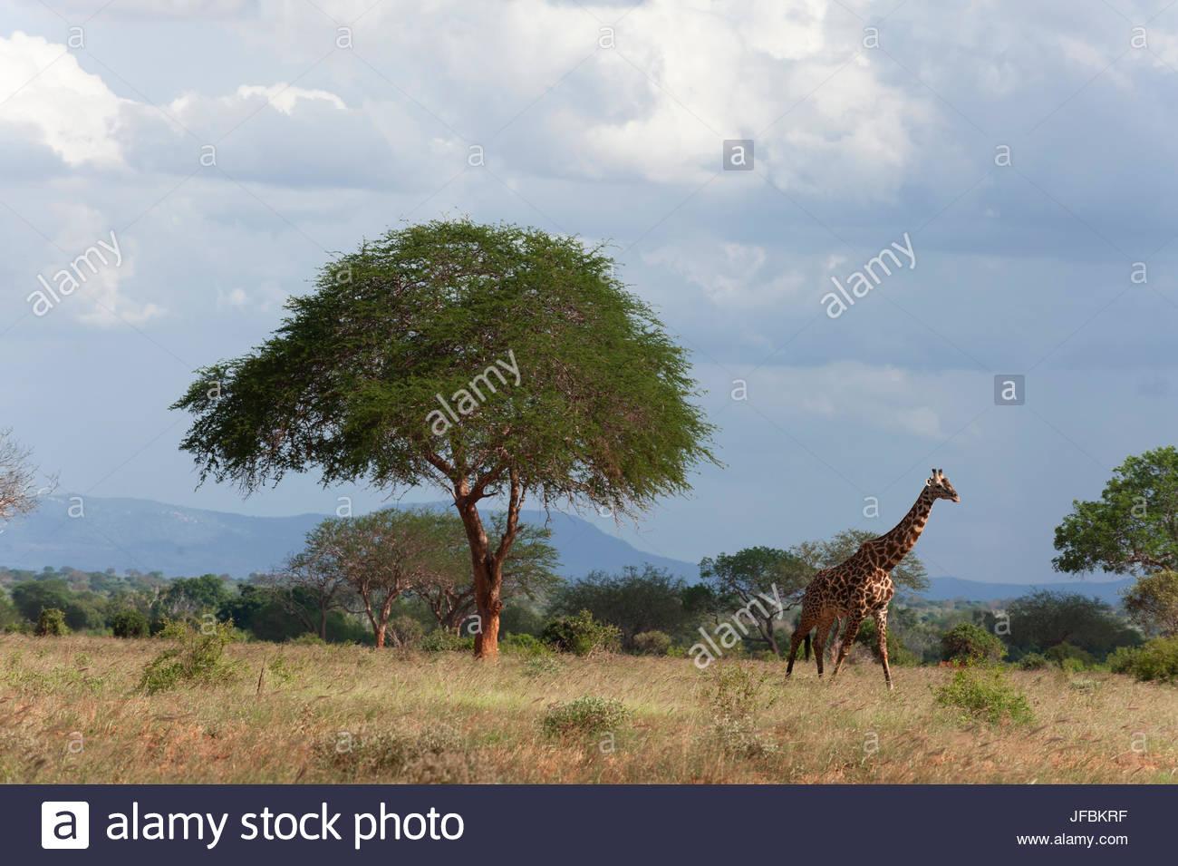 A giraffe, Giraffa camelopardalis, walking in the savanna among acacia trees. - Stock Image