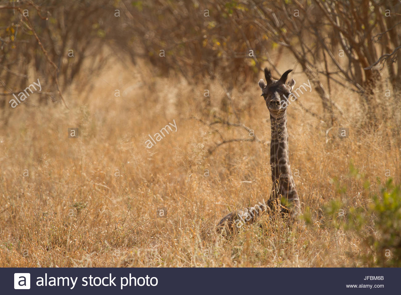 An adolescent giraffe hiding in tall grass. - Stock Image