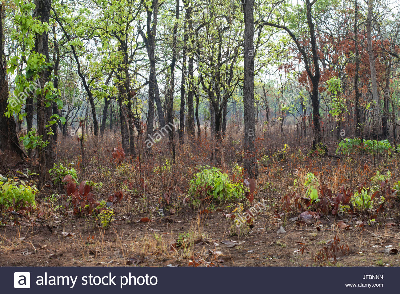 A deciduous dipterocarp forest landscape in Cambodia. - Stock Image