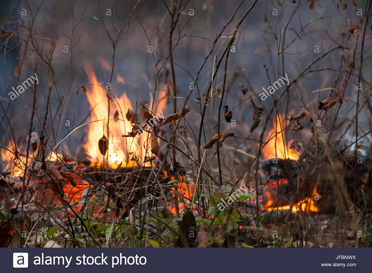 Fire burning in a deciduous dipterocarp forest. Villagers burn large trees to clear the area for agriculture. - Stock Image