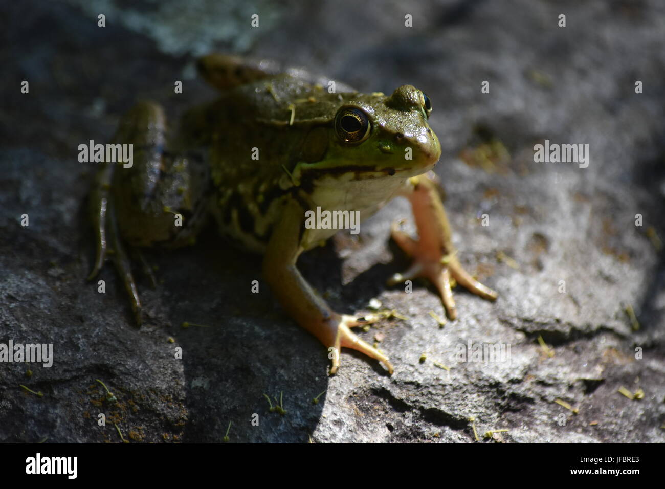 Green frog perched on rock - Stock Image