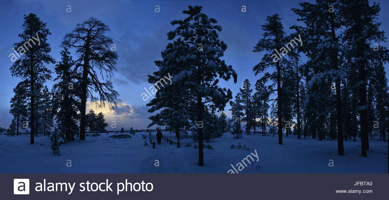 Silhouetted evergreen trees near Bryce Canyon. - Stock Image