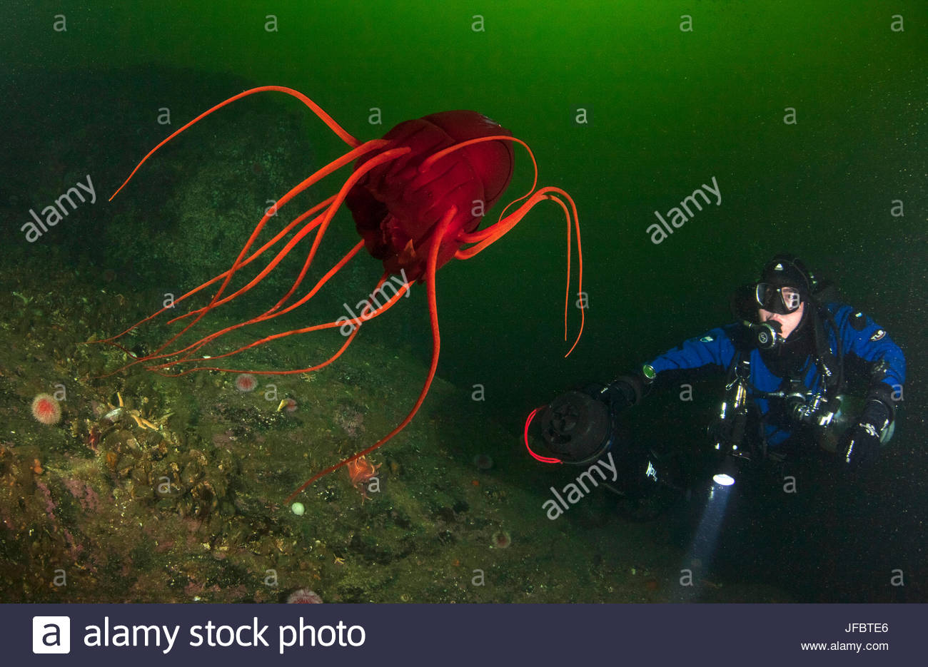 A technical diver observes a deep water helmet jellyfish, Periphylla periphylla, at a depth of 30 meters. The jellyfish - Stock Image