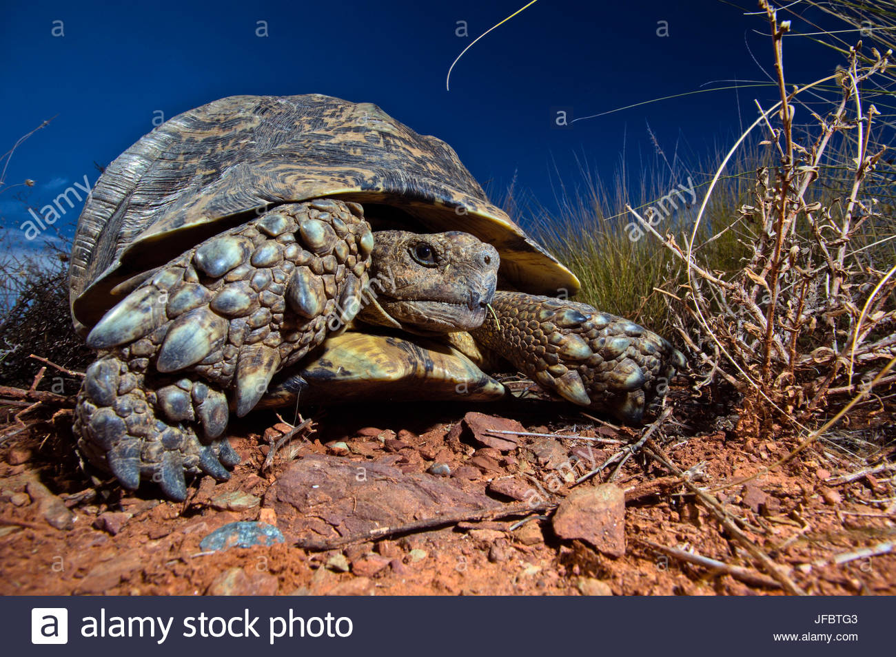 A leopard tortoise, Stigmochelys pardalis, on the side of a road. - Stock Image