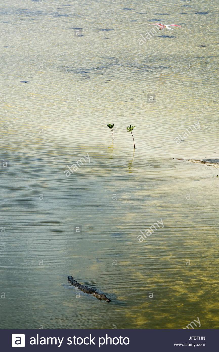 An American crocodile, Crocodylus acutus, swimming in a lagoon. A flamingo flies overhead. Stock Photo