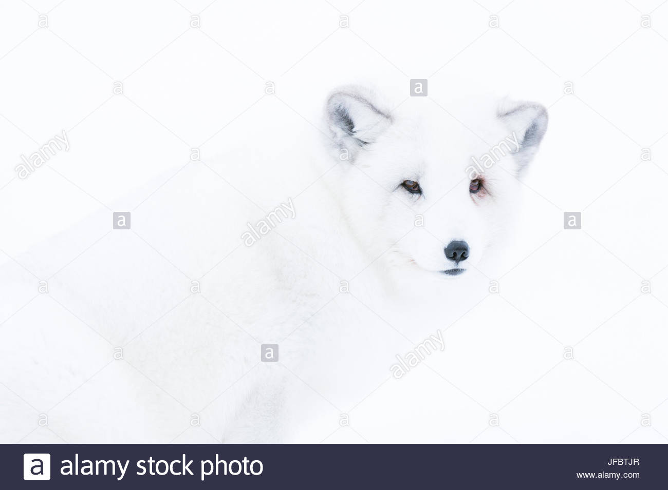 Close up portrait of an arctic fox, Vulpes lagopus, in the snow. - Stock Image