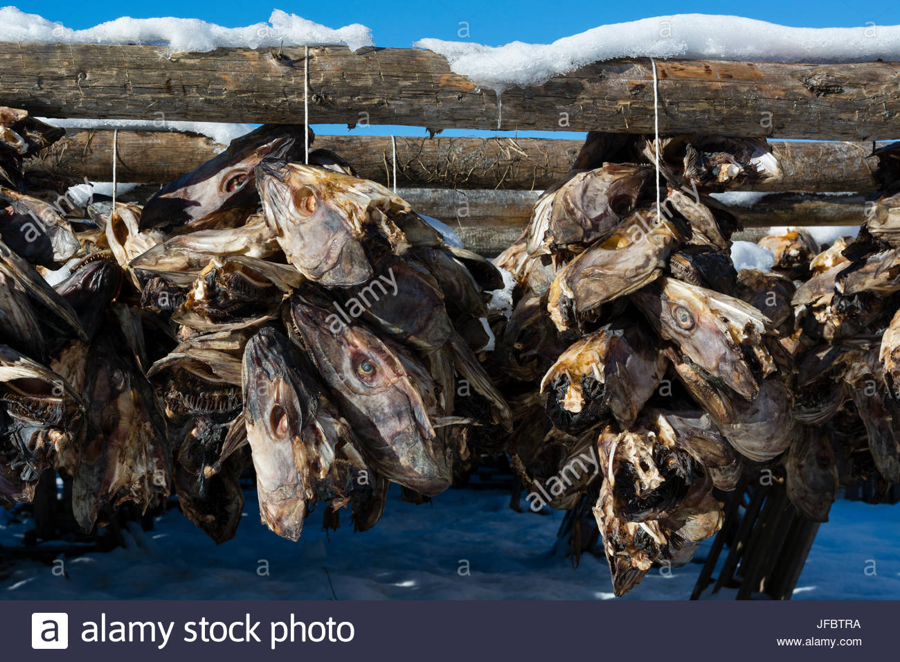 Strings of cod fish heads hanging from a drying rack in the traditional manner. - Stock Image