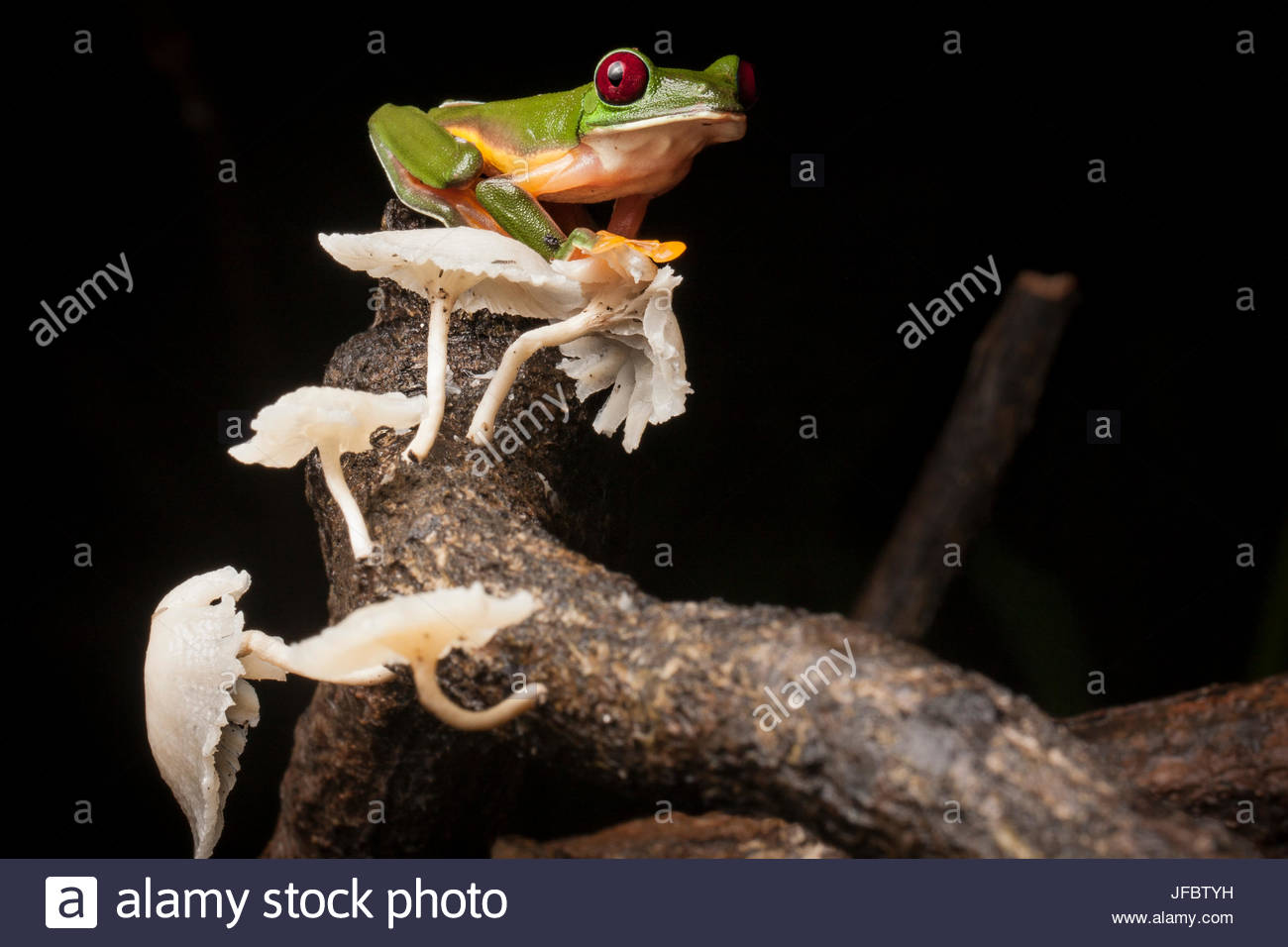 Portrait of a gliding tree frog, Agalychnis spurrelli, with mushrooms. - Stock Image