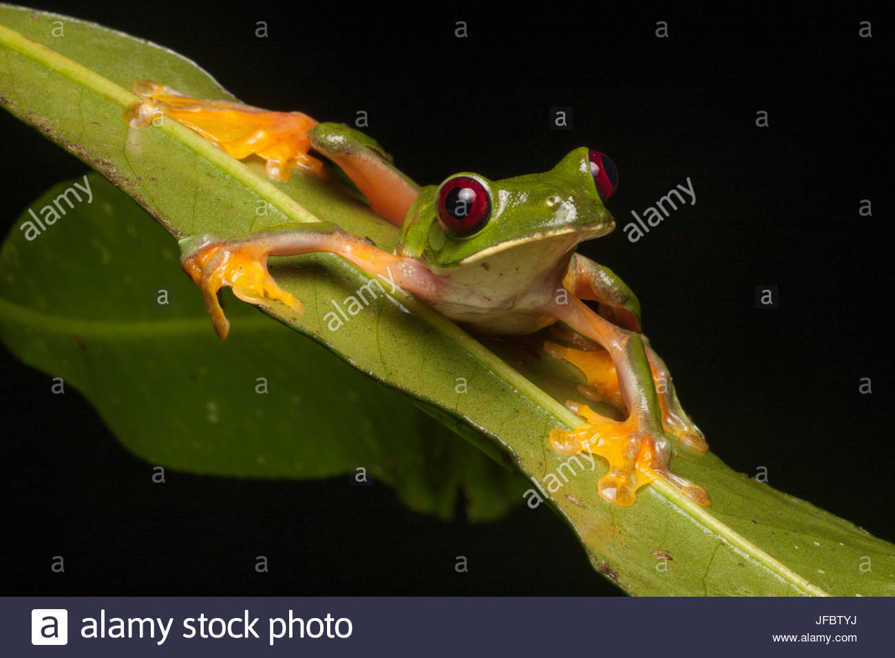 Portrait of a gliding tree frog, Agalychnis spurrelli, on a leaf. - Stock Image