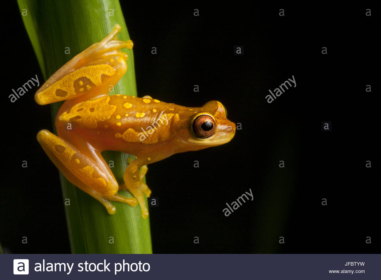 Portrait of a hourglass tree frog, Dendropsophus ebraccatus. - Stock Image