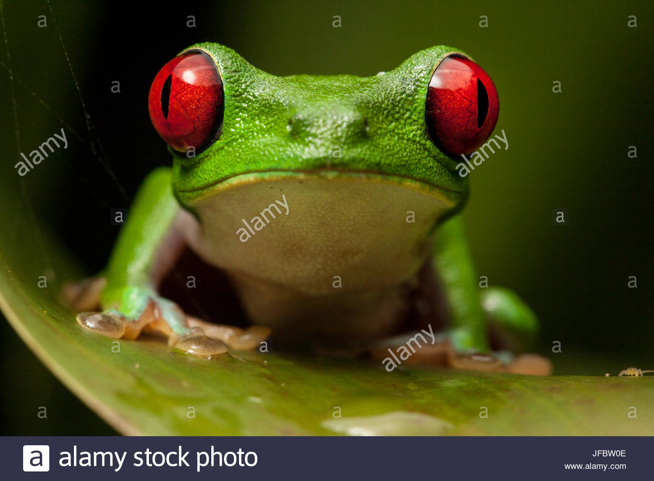 Portrait of a red-eyed tree frog, Agalychnis calidryas. - Stock Image