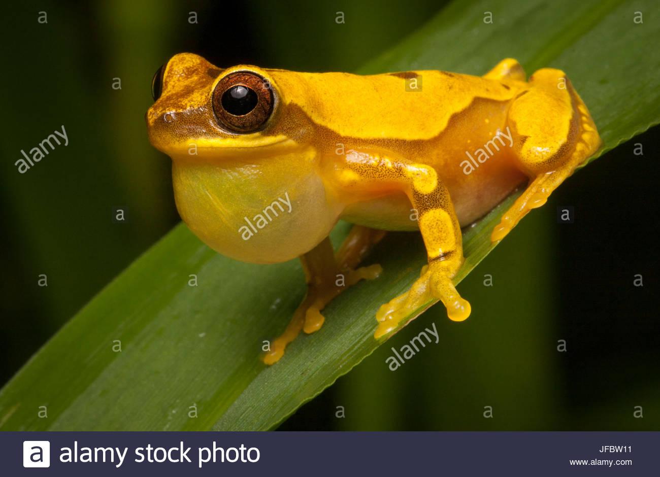 Portrait of a hourglass frog, Dendropsophus ebraccatus, calling. - Stock Image
