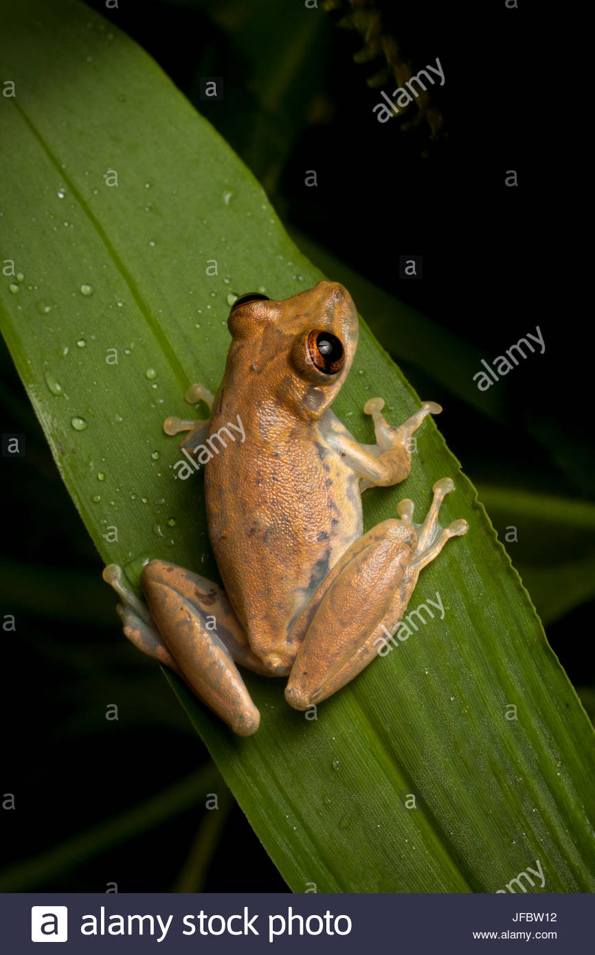 Portrait of an olive tree frog, Scinax elaeochrous. - Stock Image