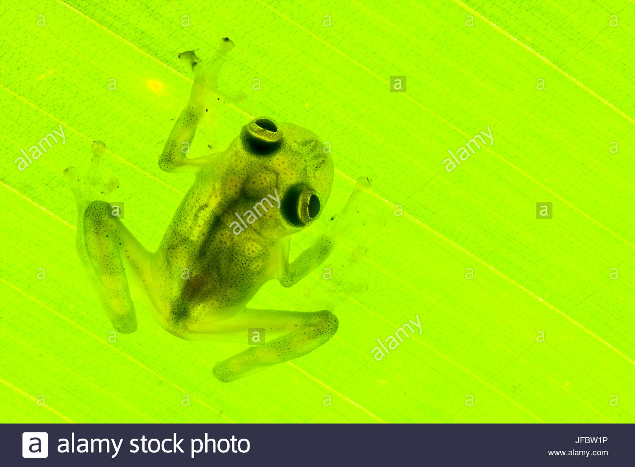 A backlit cricket glass frog, Hyalinobatrachium colymbiphyllum, on a leaf. - Stock Image