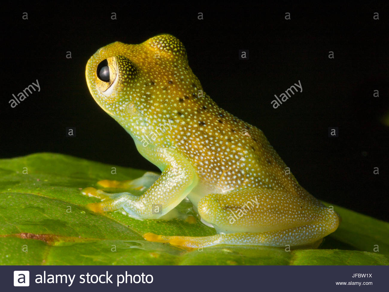 Portrait of a granular glass frog, Cochranella granulosa. Stock Photo