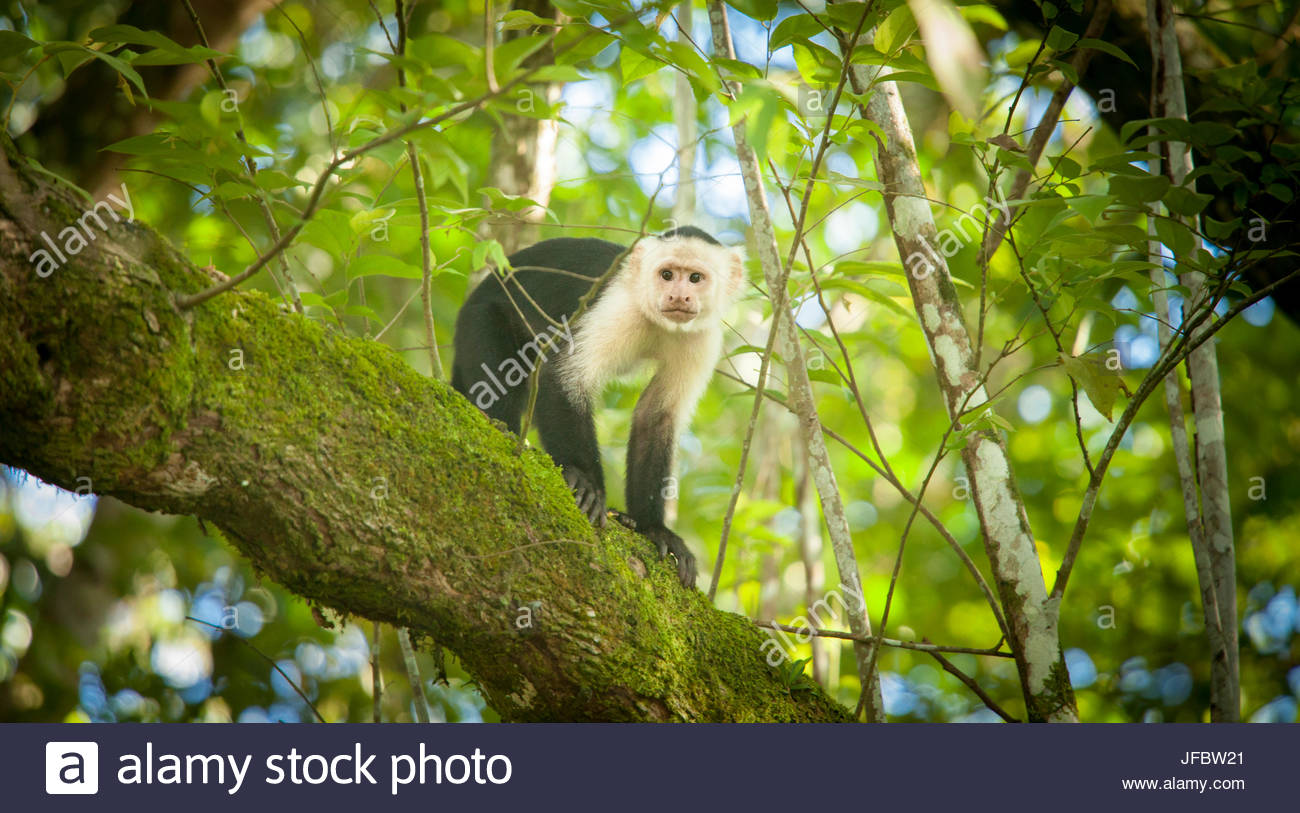 Portrait of a monkey in a tree. - Stock Image