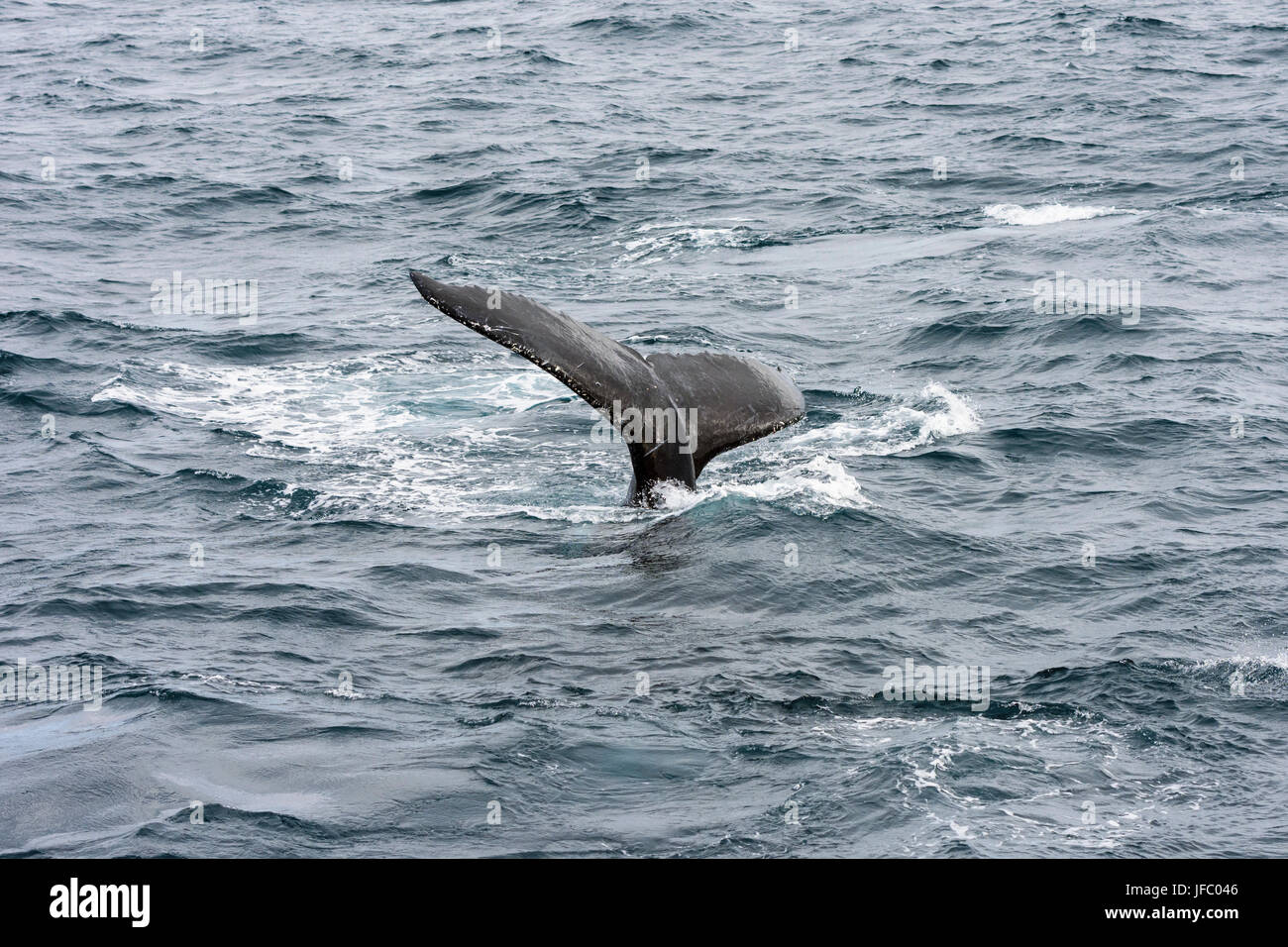 Tail of a humpback whale in Flinders Bay, off the coast of Augusta, Western Australia - Stock Image