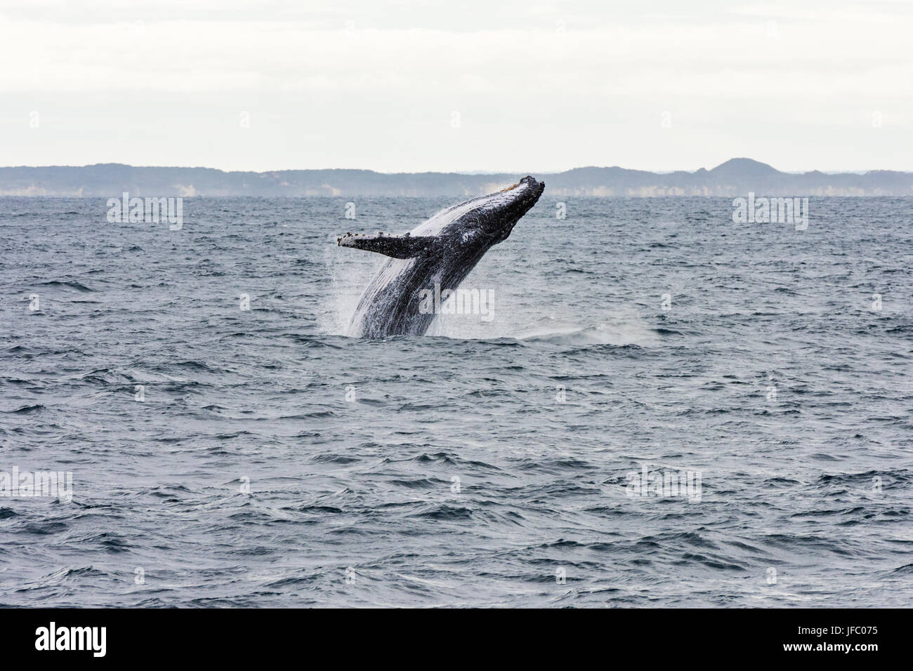 A humpback whale breaching in Flinders Bay, off the coast of Augusta, Western Australia, Australia - Stock Image