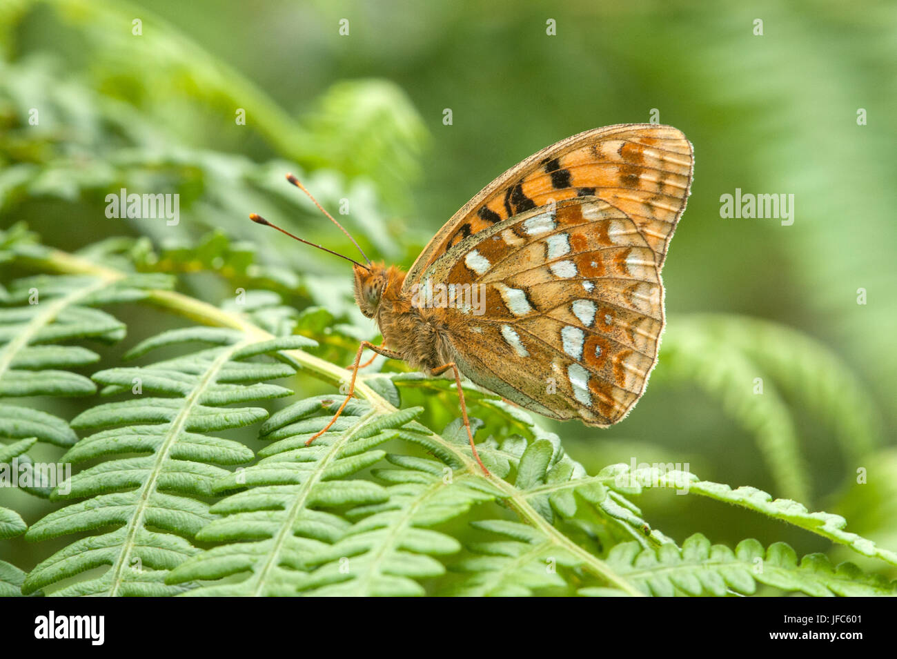 High brown Fritillary butterfly Argynnis adippe resting on bracken - Stock Image