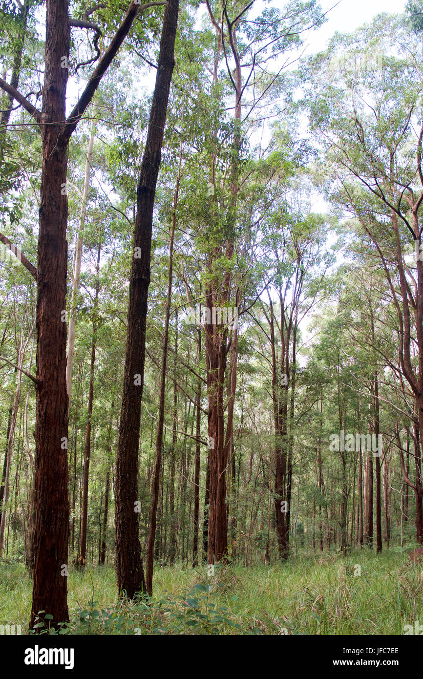 Australian bushland near Dungog, NSW, Australia - Stock Image