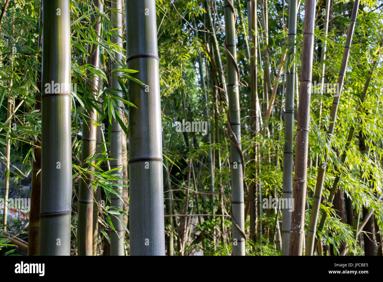 Small Bamboo forest in Hakone, Ashigarashimo District, Kanagawa Prefecture, Japan - Stock Image