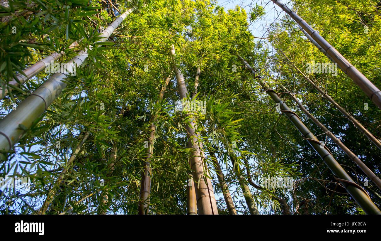 Bamboo forest canopy in Hakone, Ashigarashimo District, Kanagawa Prefecture, Japan - Stock Image