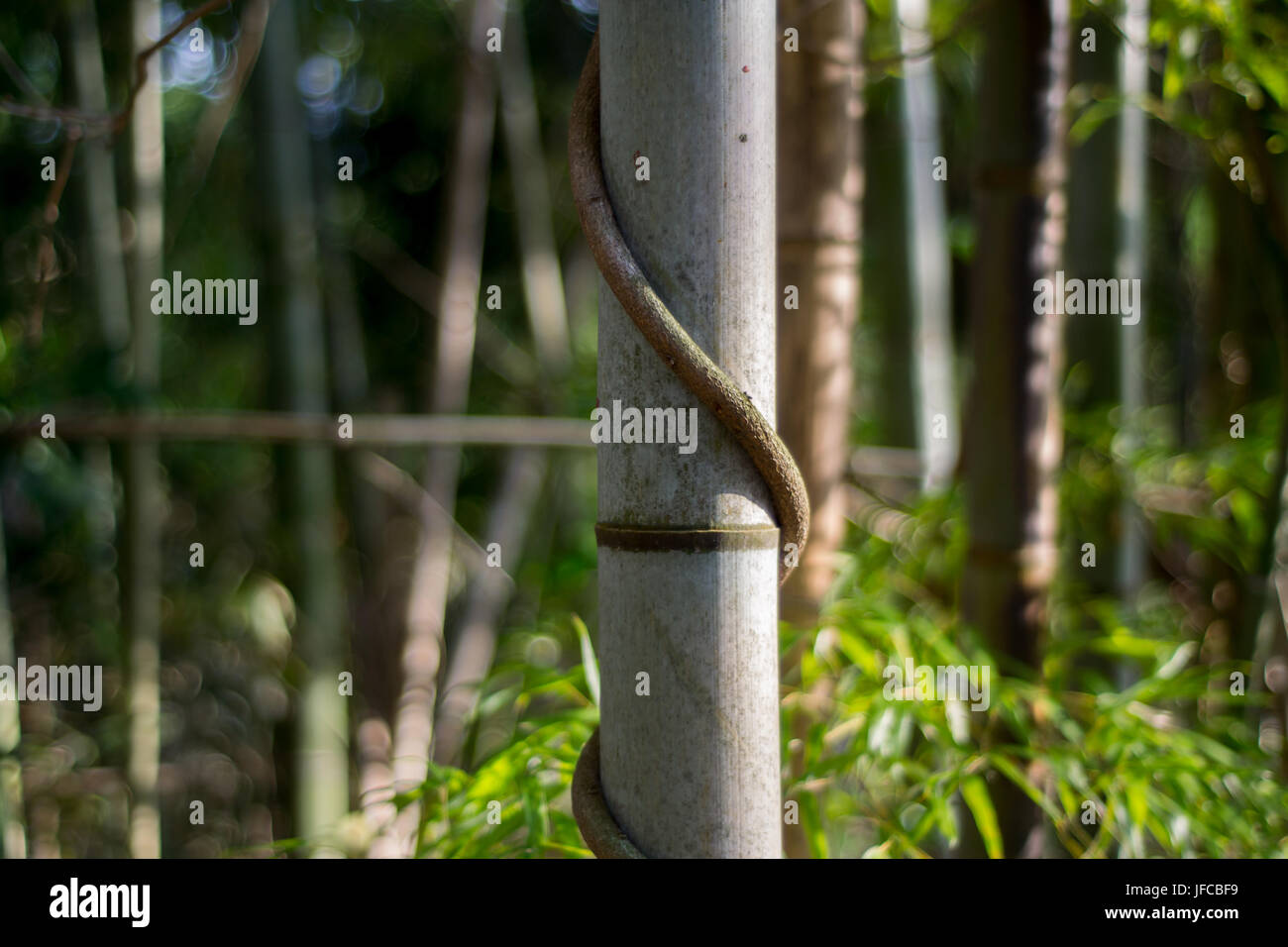 Bamboo with spiraling vine in Hakone, Ashigarashimo District, Kanagawa Prefecture, Japan - Stock Image