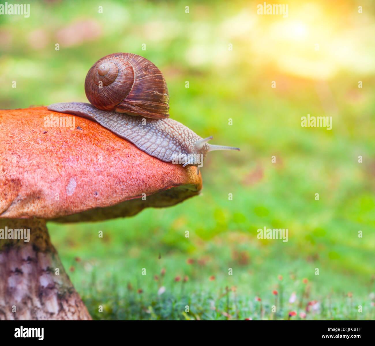 Snail on mushroom - Stock Image