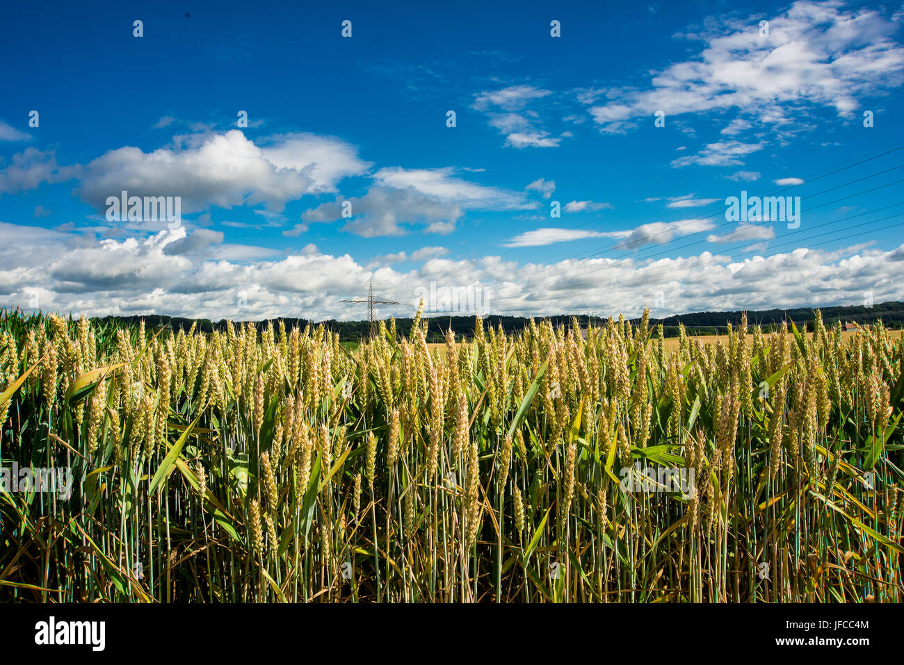 A wheat field in Germany under a blue sky - Stock Image