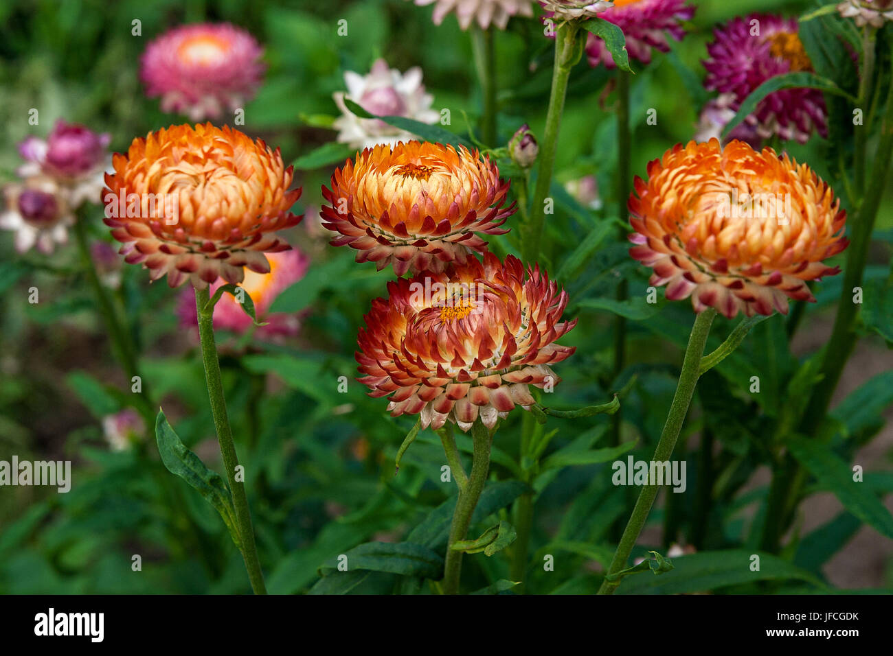Helichrysum or straw flower in outdoor garden straw flowers stock helichrysum or straw flower in outdoor garden straw flowers scientific name is helichrysum bracteatum mightylinksfo