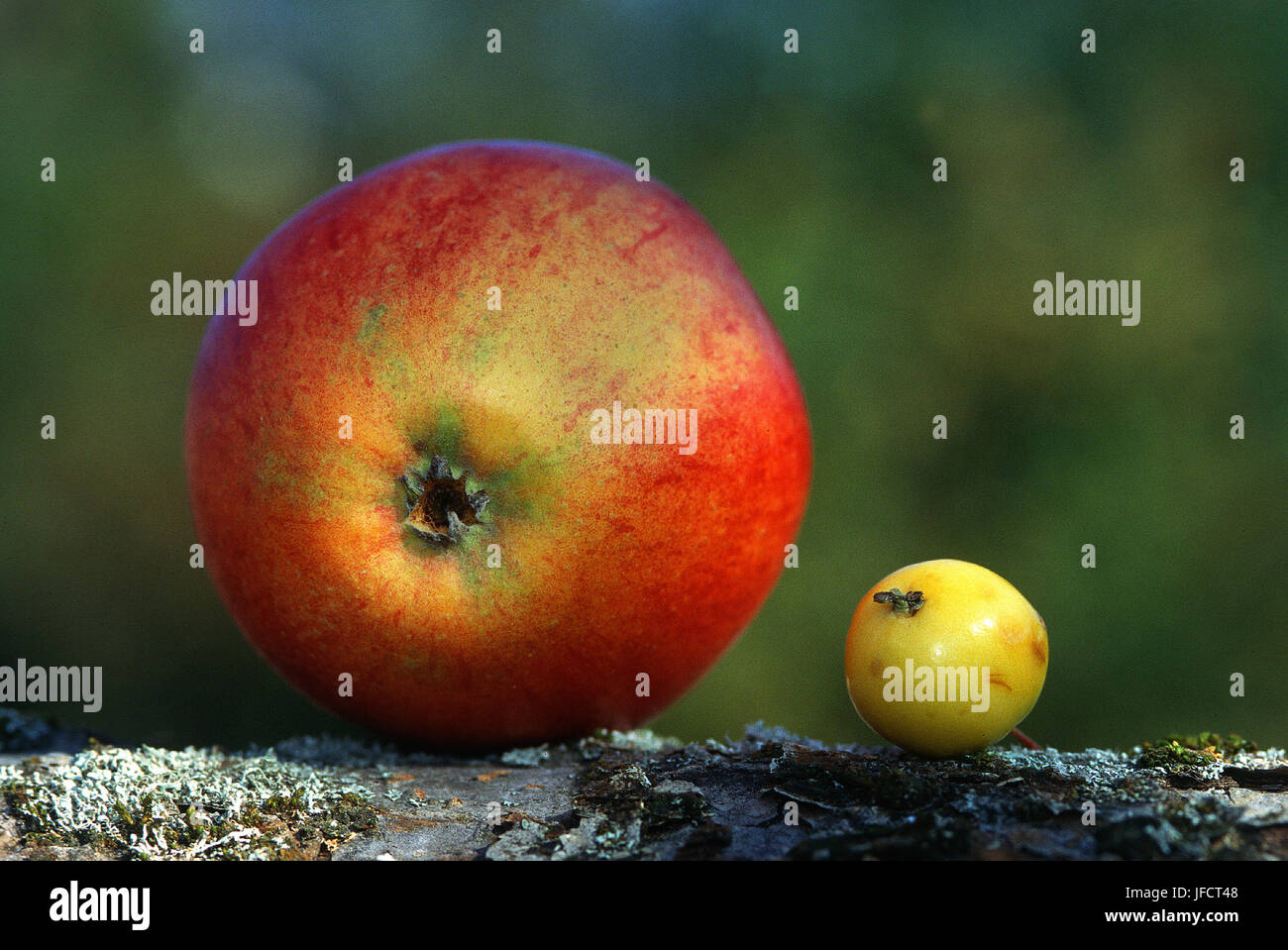 apple; apples; Stock Photo