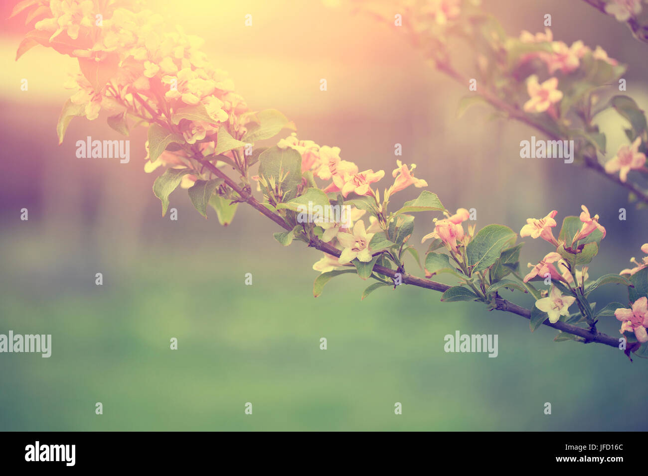 Tree flower blossoms at spring in april - Stock Image