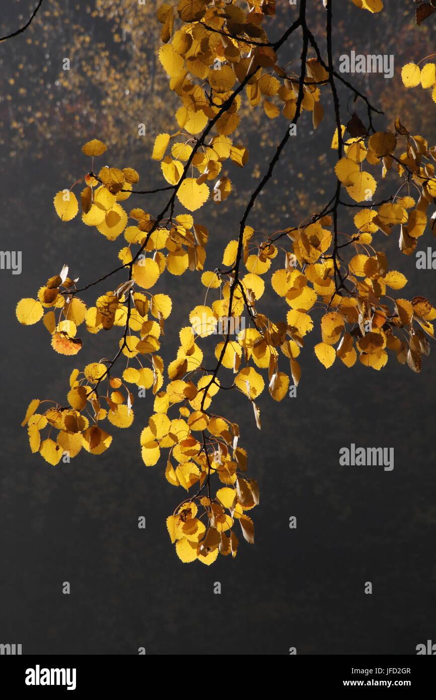 Europen aspen, autumn colors - Stock Image