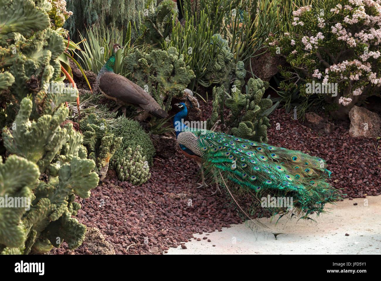 male peacock Pavo muticus - Stock Image
