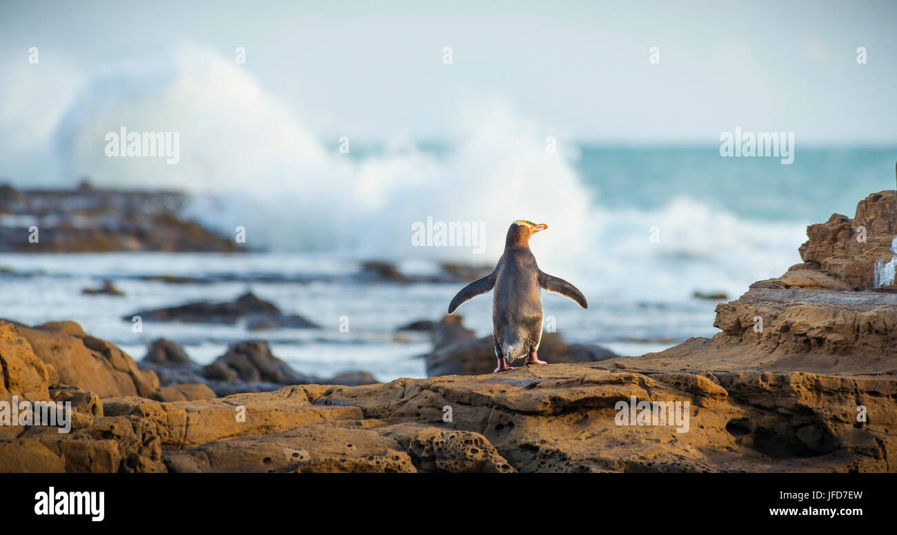 Yellow-eyed penguin, Hoiho (Megadyptes antipodes) on rock, drying its wings, Petrified Forest, Curio Bay, Southlands - Stock Image