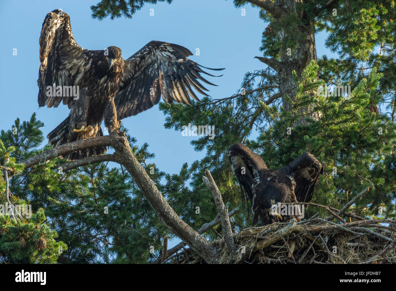 Bald Eagle eaglet flapping wings while one eats Seagull in nest-Roberts Bay., Sidney, British Columbia, Canada. - Stock Image
