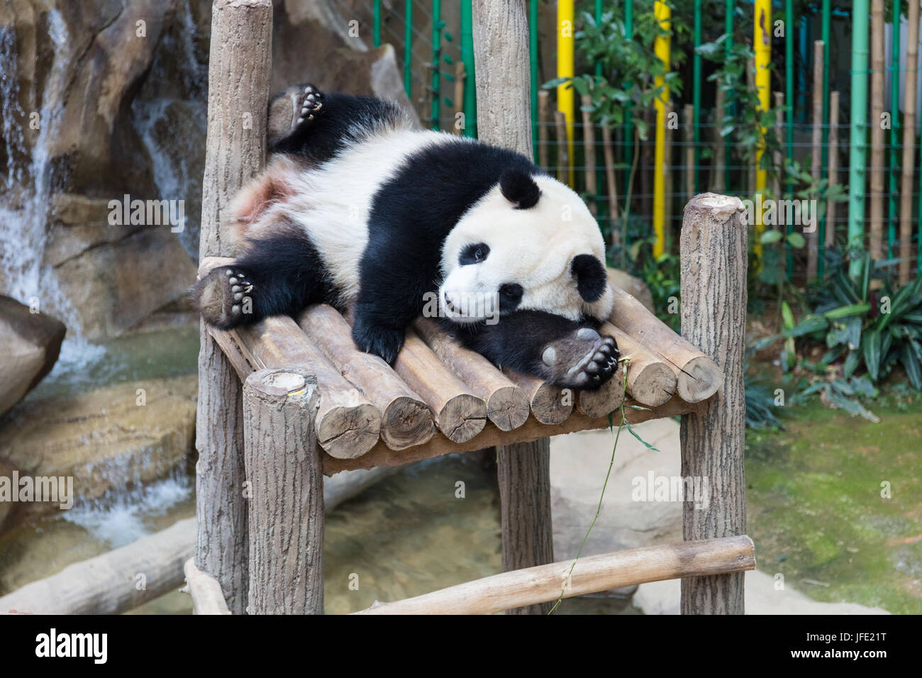 Giant Panda sleeping on wooden platform at the zoo - Stock Image
