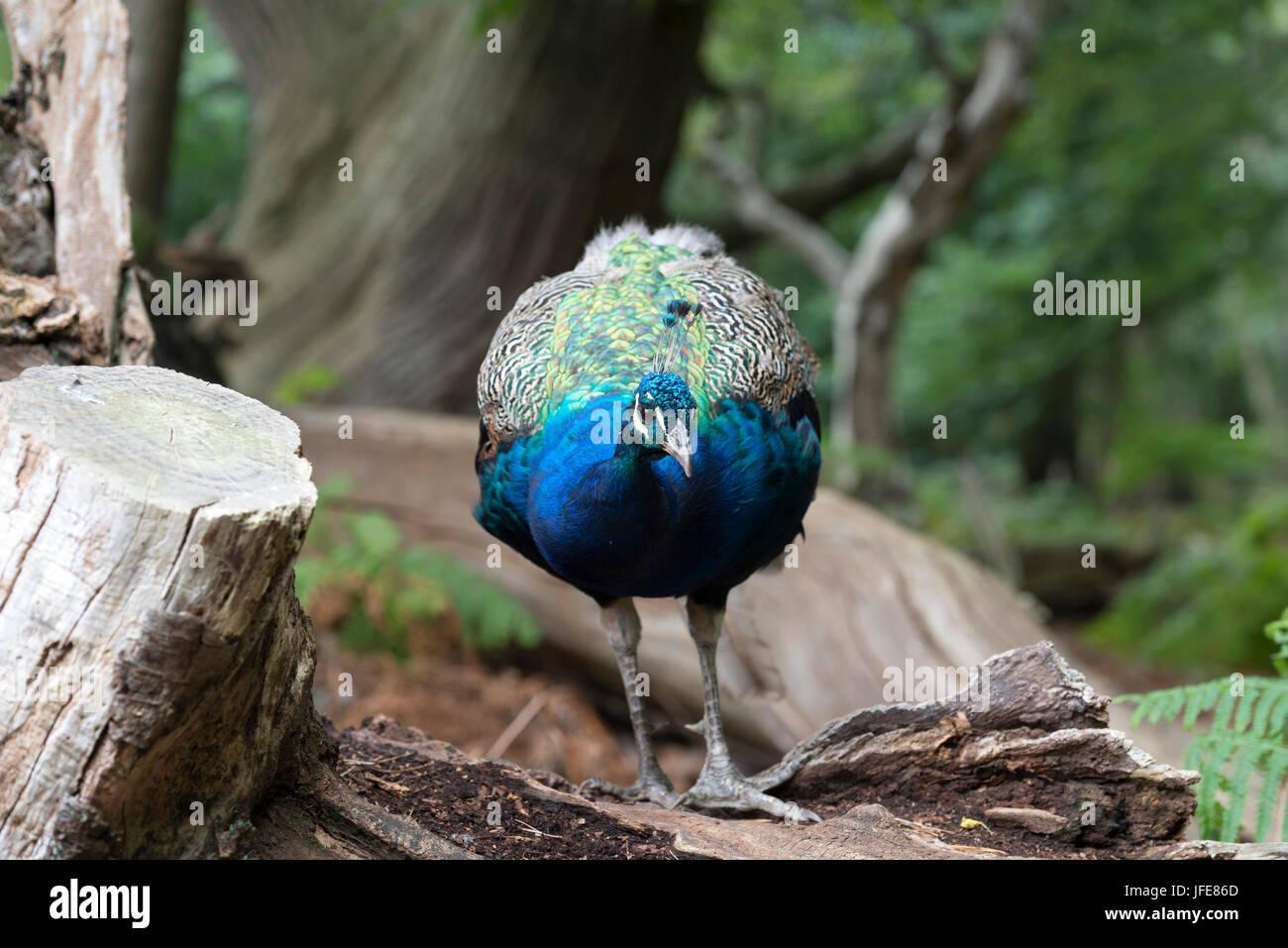 Peacock - Male on Log - Stock Image