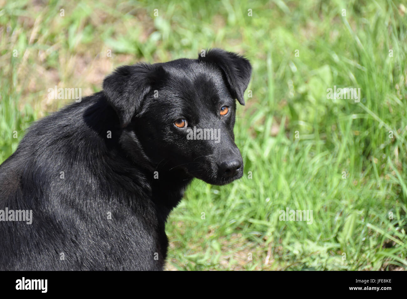 Black dog with shiny hair against green background, may use for pet calendar page - Stock Image